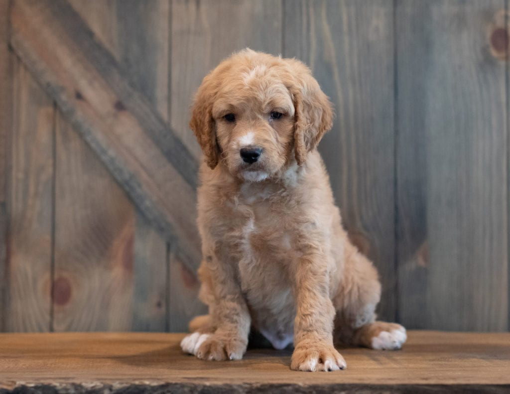 A picture of a Tripp, one of our Mini Goldendoodles puppies