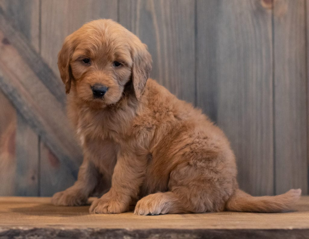 A picture of a Turner, one of our Mini Goldendoodles puppies that went to their home in California