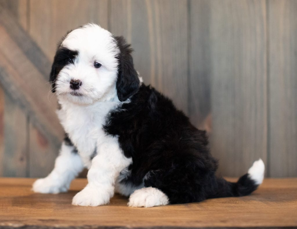 Val is an F1 Sheepadoodle that should have  and is currently living in Pennsylvania