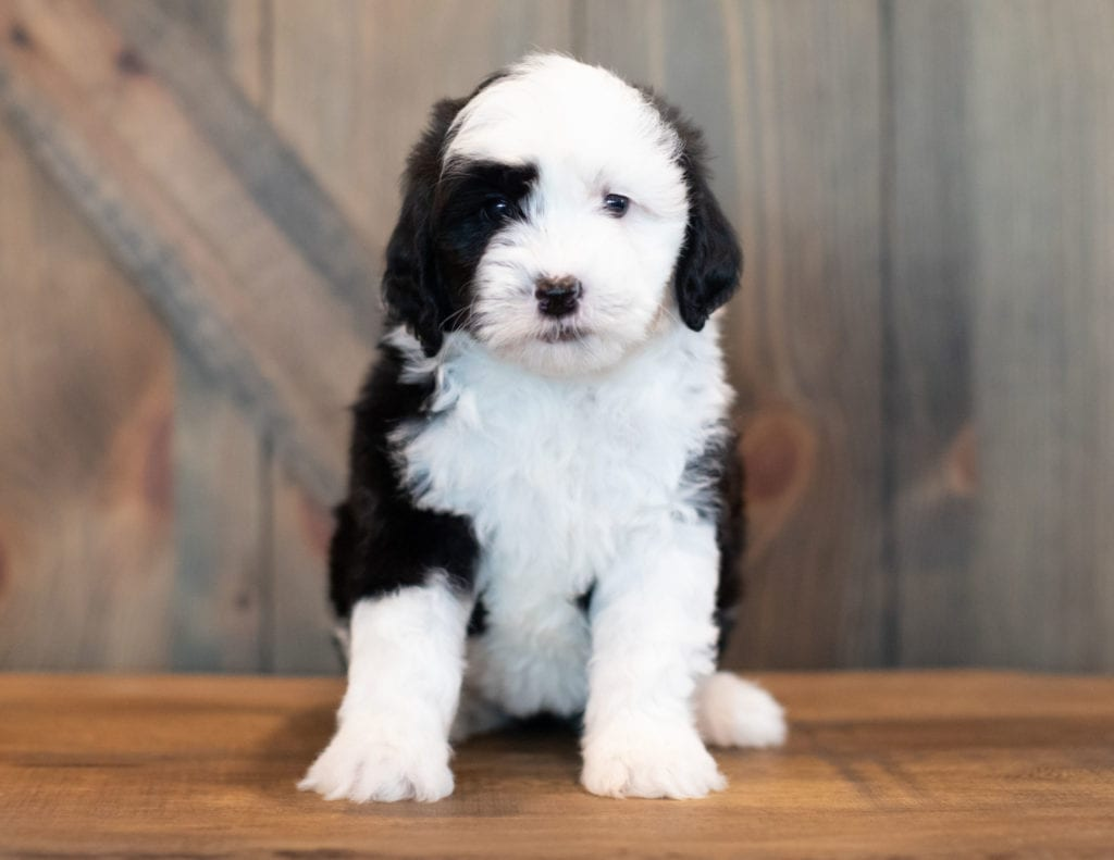 A picture of a Val, one of our Mini Sheepadoodles puppies that went to their home in Pennsylvania