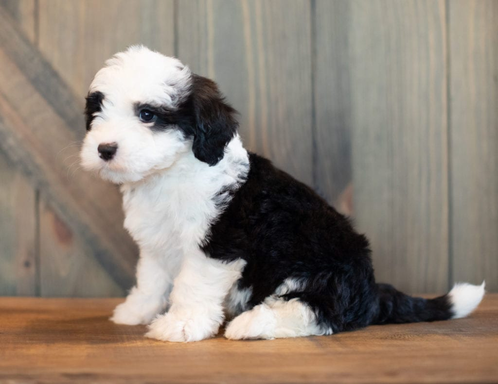 Velma is an F1 Sheepadoodle that should have  and is currently living in Colorado