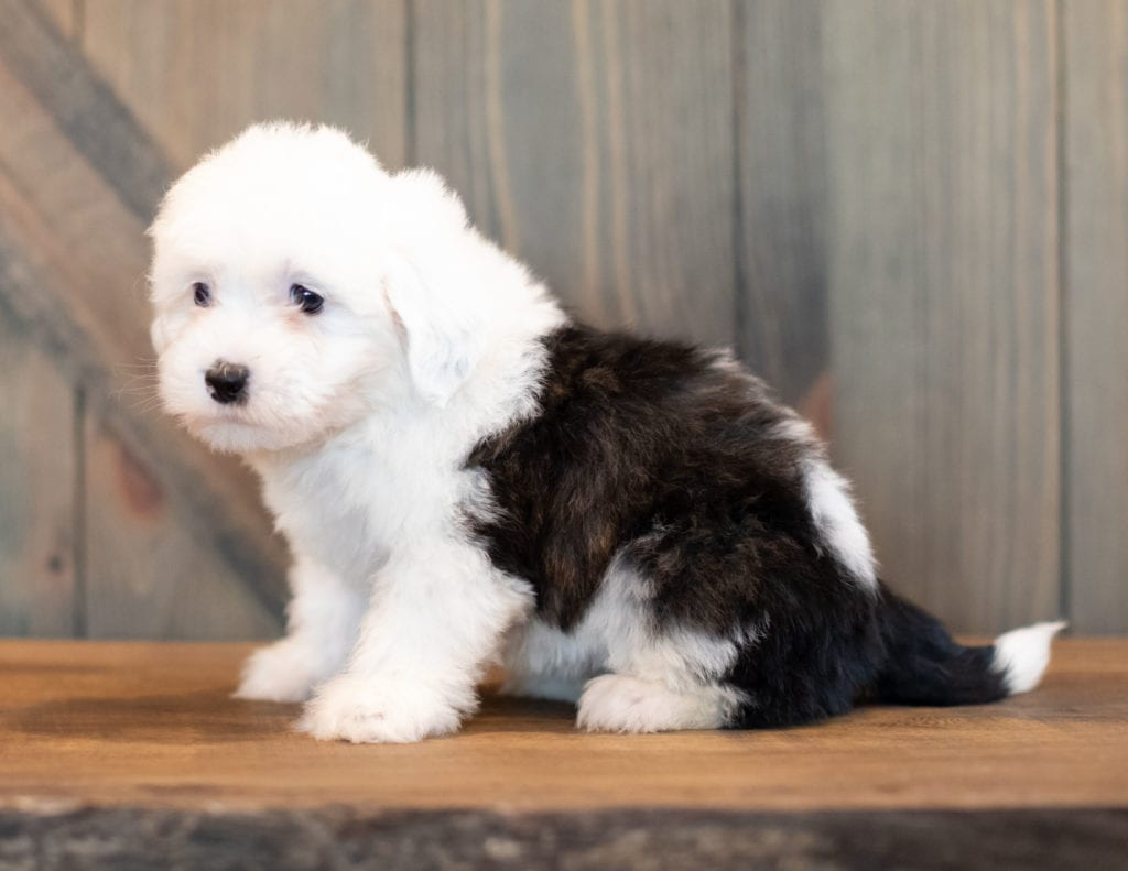 Velvet is an F1 Sheepadoodle that should have  and is currently living in Minnesota