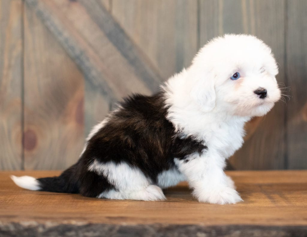 Another pic of our recent Sheepadoodle litter