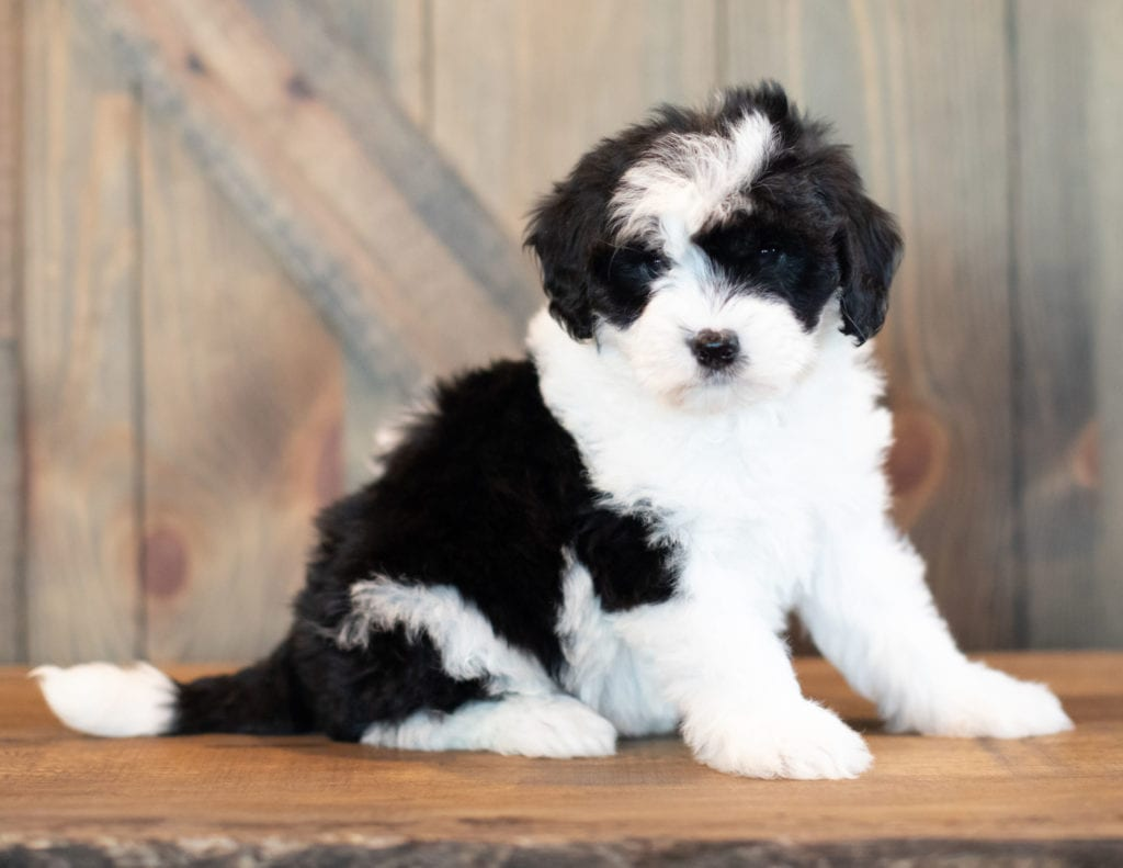 Vera is an F1 Sheepadoodle that should have  and is currently living in Colorado