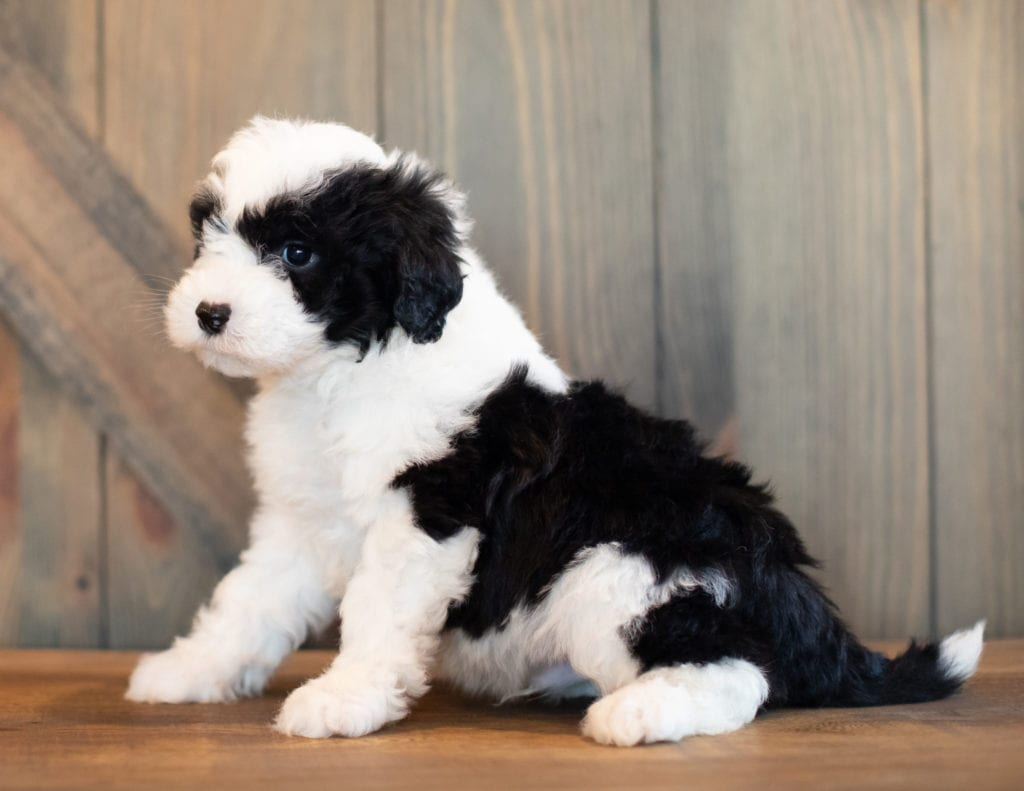 Victor is an F1 Sheepadoodle that should have  and is currently living in Nebraska