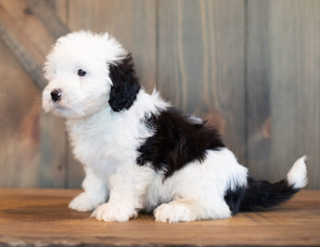 Violet is an F1 Sheepadoodle that should have  and is currently living in California