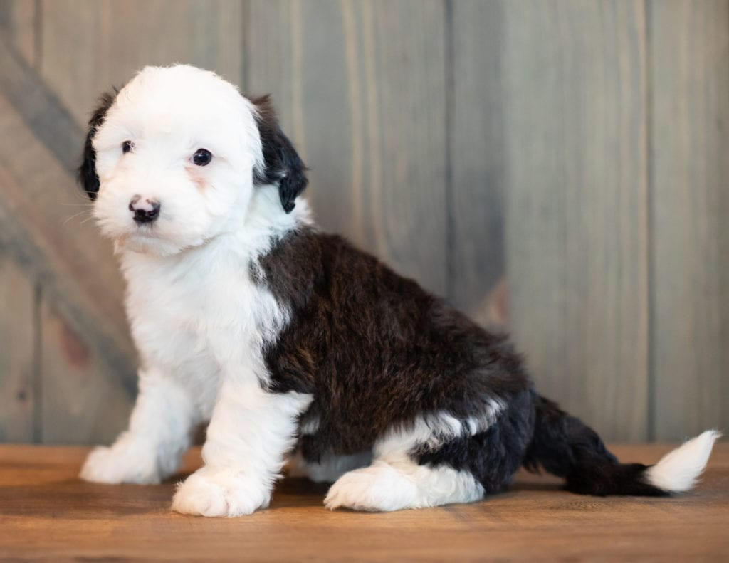 A picture of a Virginia, one of our Mini Sheepadoodles puppies that went to their home in Pennsylvania