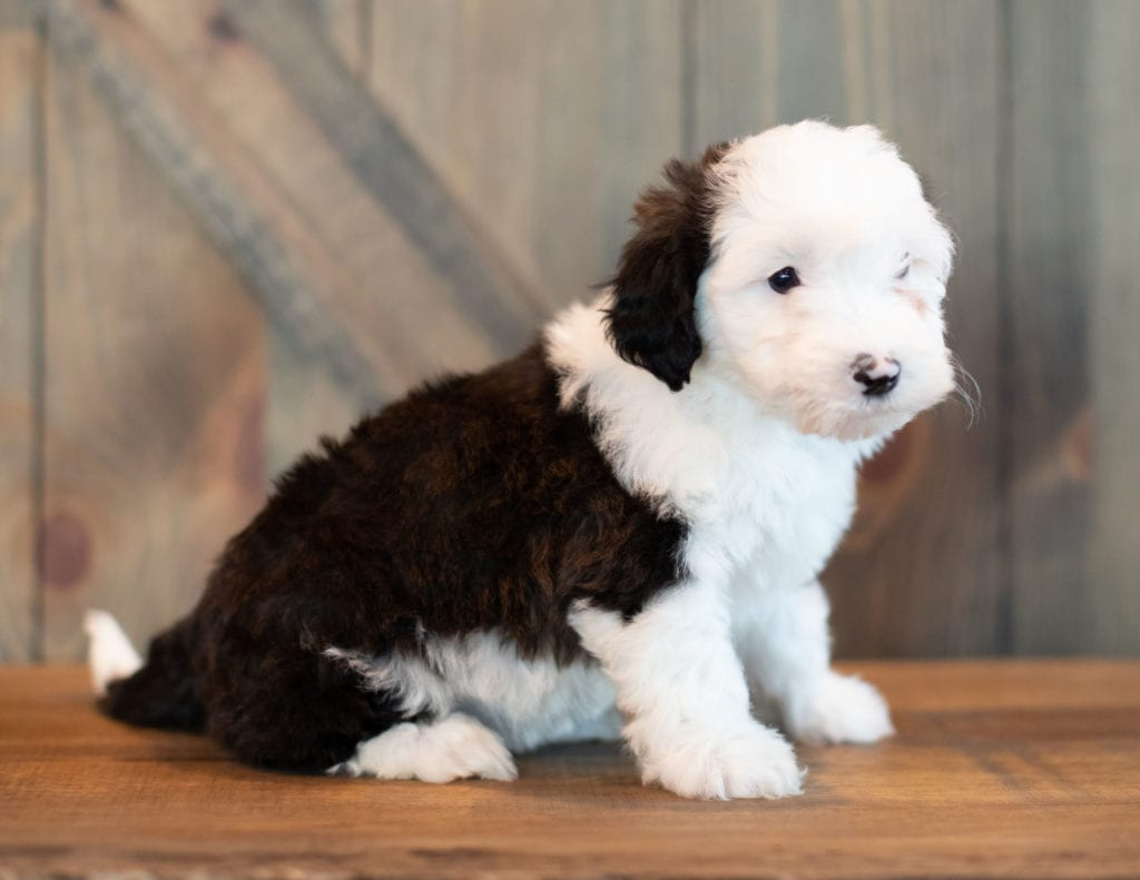 Virginia is an F1 Sheepadoodle that should have  and is currently living in Pennsylvania