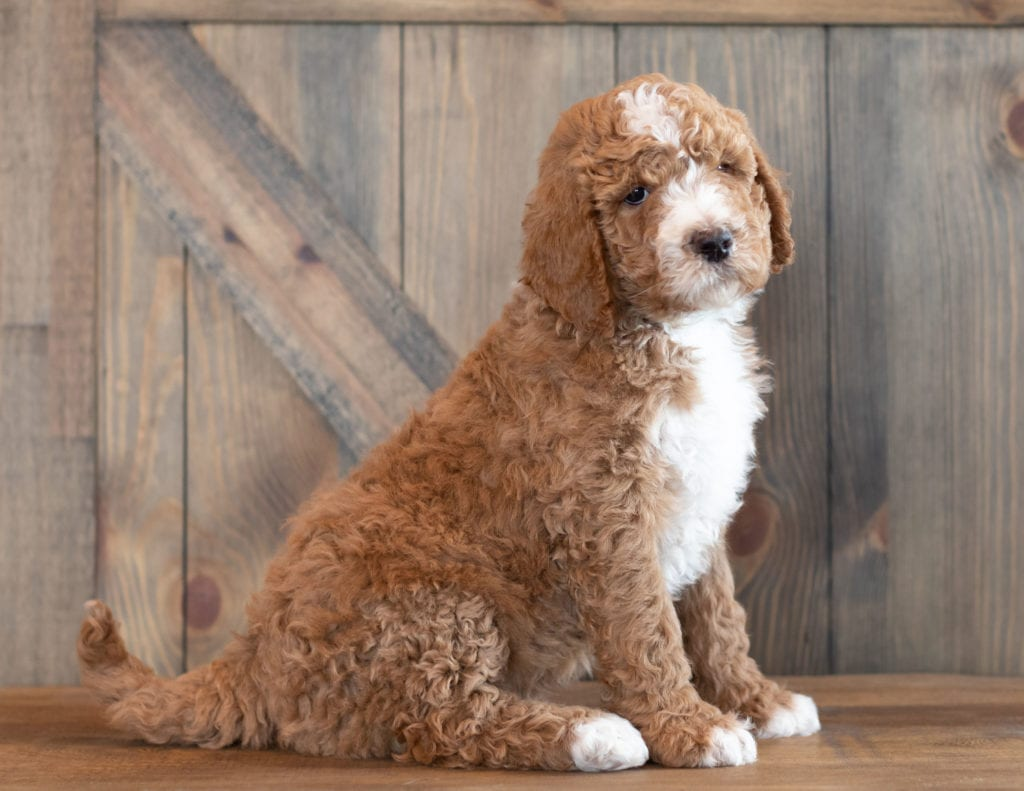 A picture of a Xant, one of our Mini Goldendoodles puppies that went to their home in California