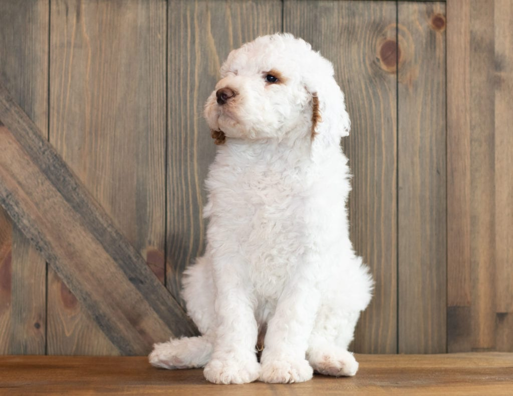 Mini Goldendoodles with hypoallergenic fur due to the Poodle in their genes. These Goldendoodles are of the F1B generation.
