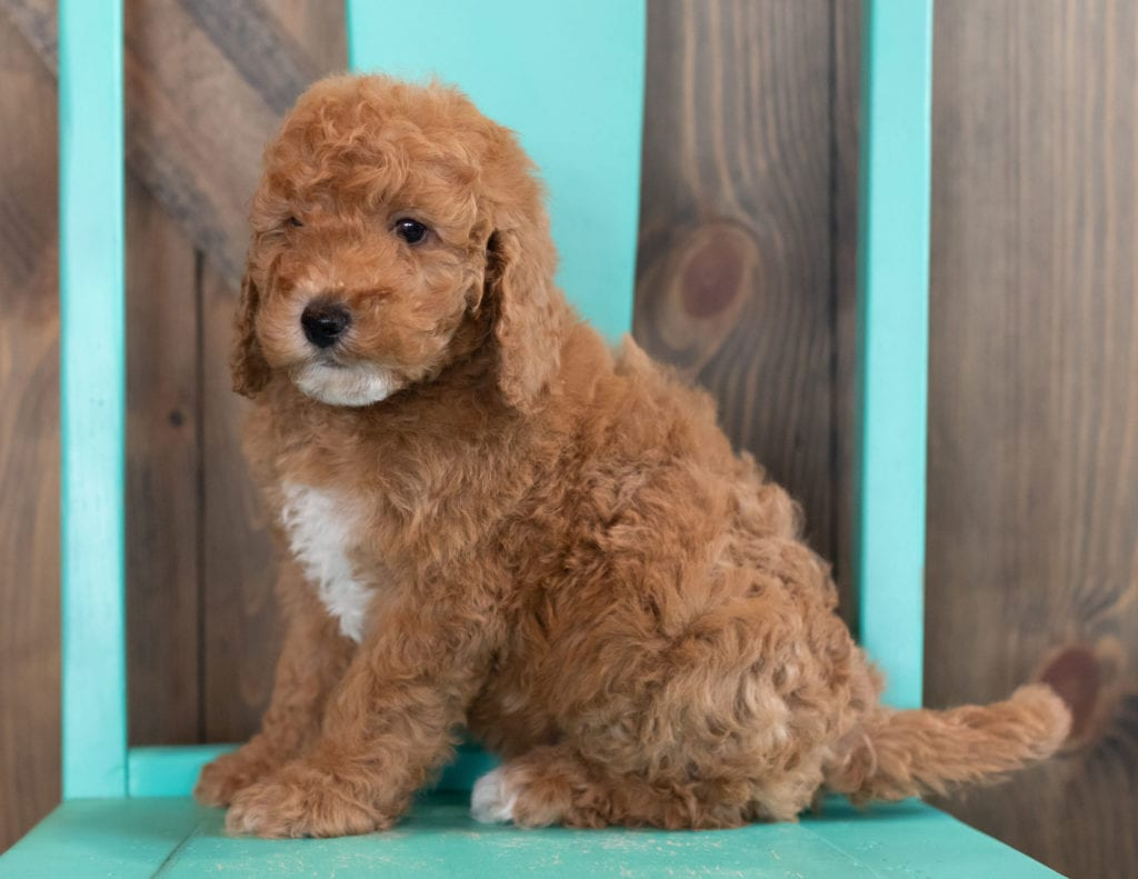 A picture of a Walker, one of our Mini Goldendoodles puppies that went to their home in Colorado