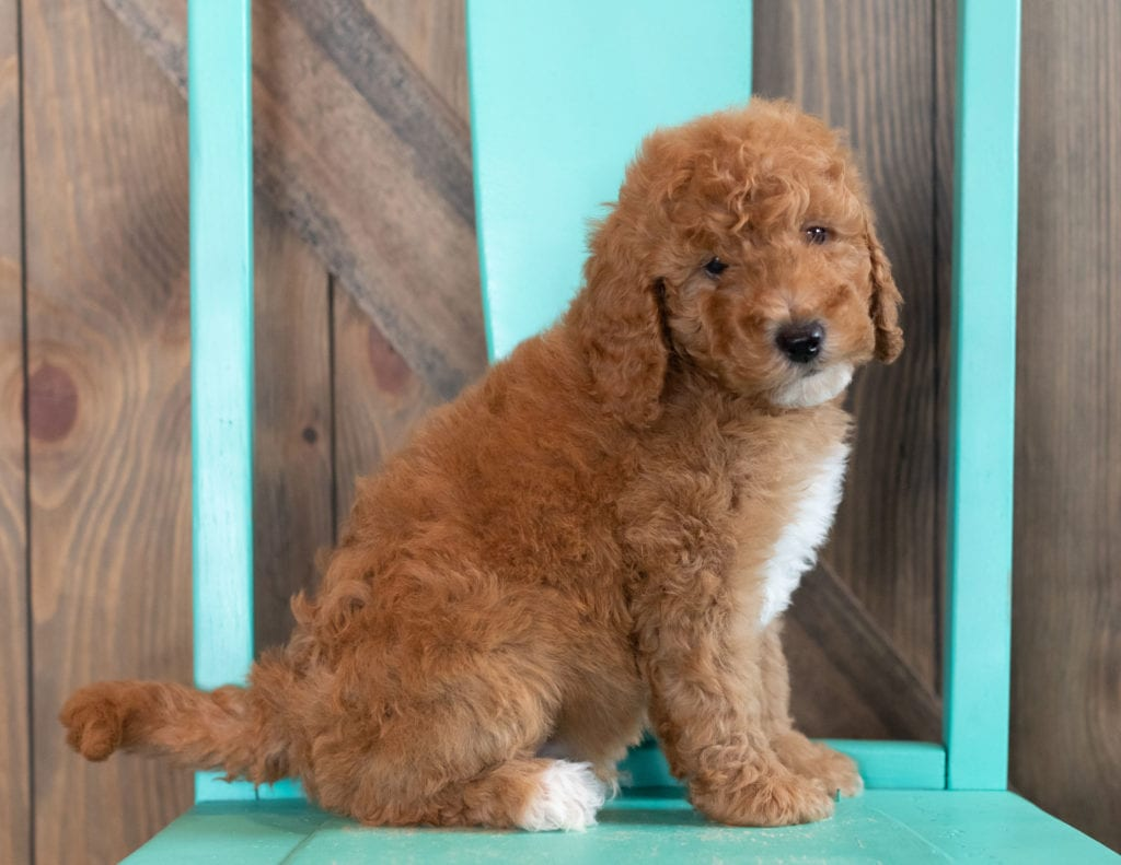 Walker came from Candice and Teddy's litter of F1BB Goldendoodles