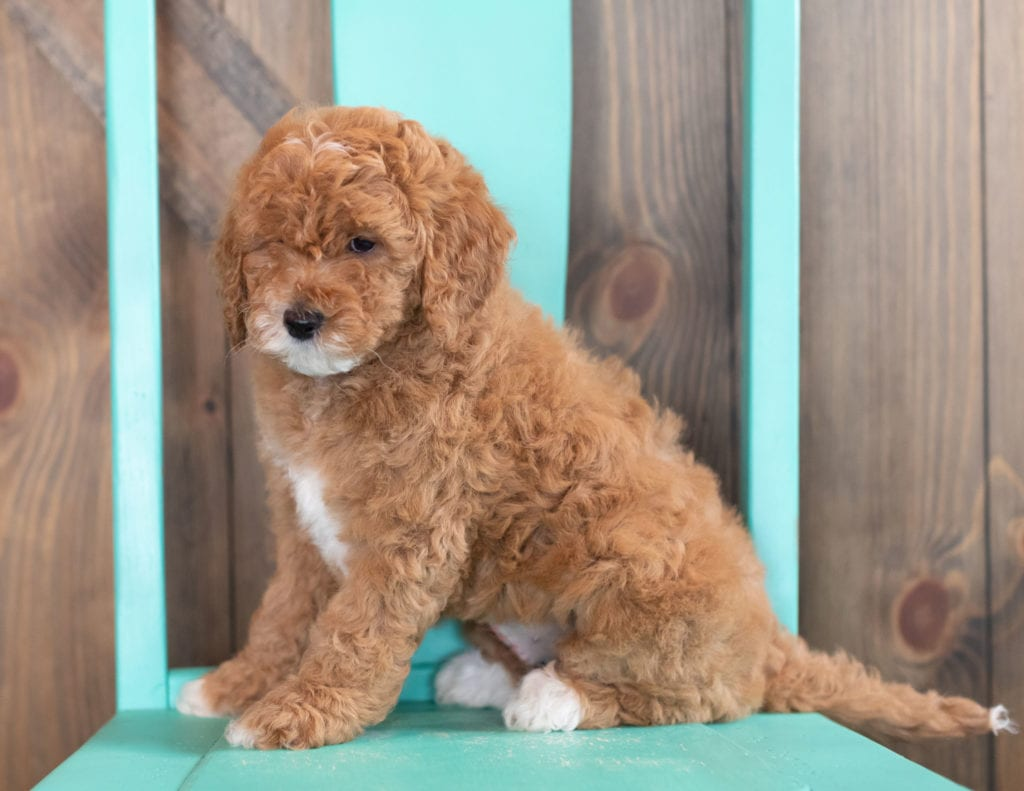 A picture of a Wilma, one of our Mini Goldendoodles puppies that went to their home in Maryland