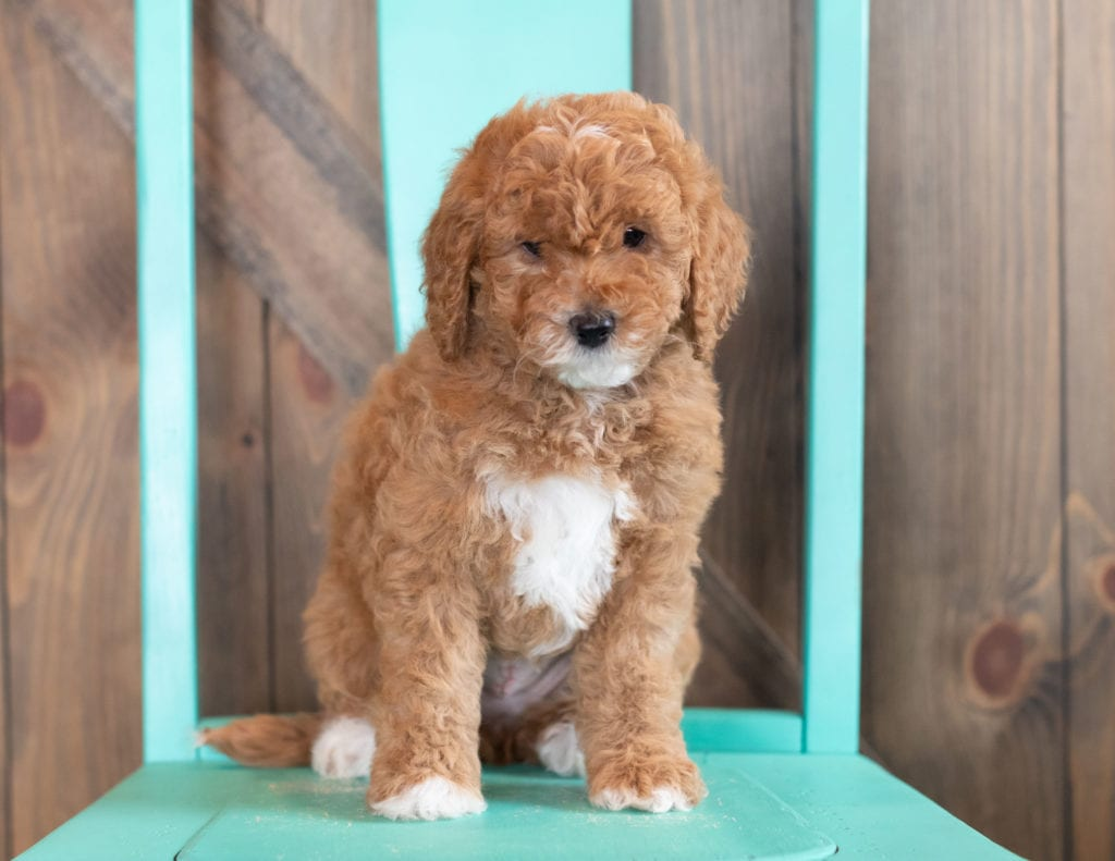Wilma came from Candice and Teddy's litter of F1BB Goldendoodles