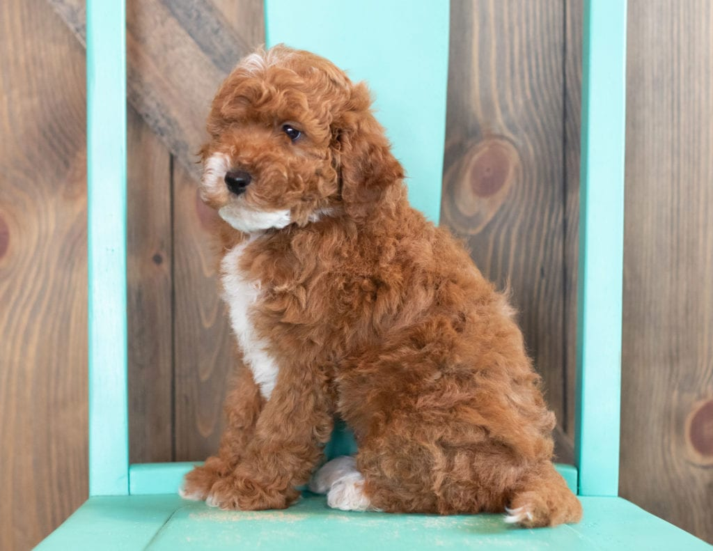 A picture of a Wink, one of our Mini Goldendoodles puppies that went to their home in Maryland