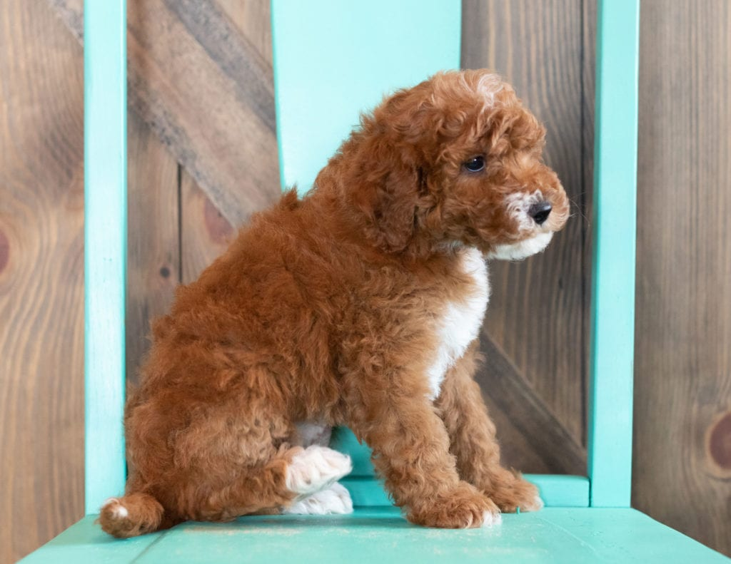 Wink came from Candice and Teddy's litter of F1BB Goldendoodles