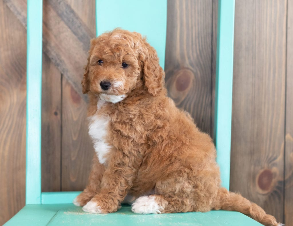 A picture of a Wesley, one of our Mini Goldendoodles puppies that went to their home in Nebraska