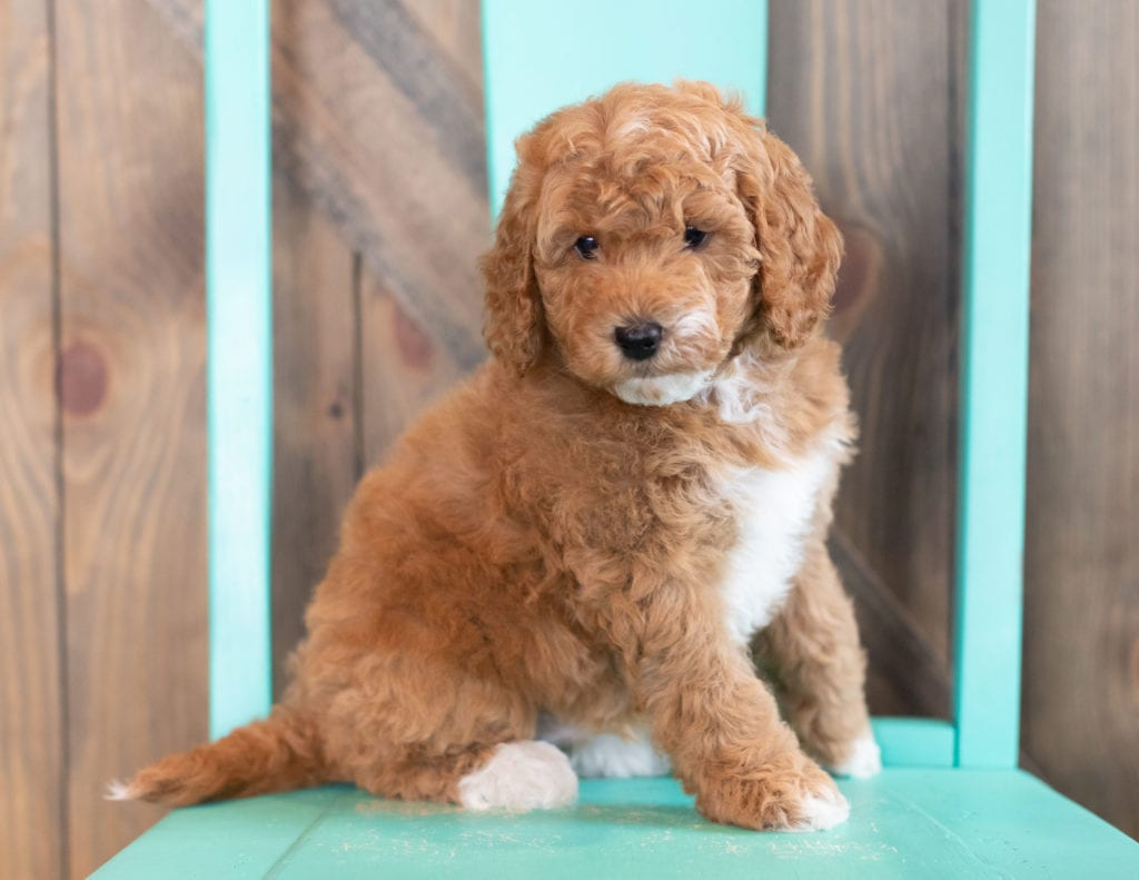 Wesley is an F1BB Goldendoodle that should have  and is currently living in Nebraska