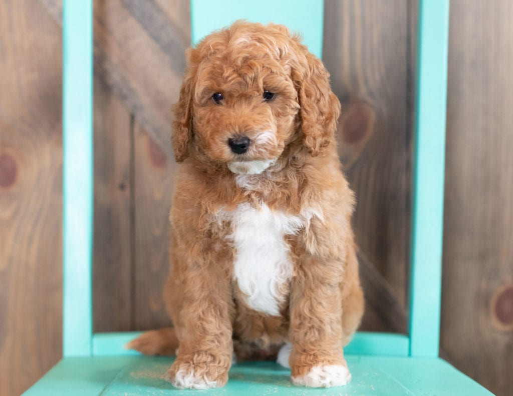 Wesley came from Candice and Teddy's litter of F1BB Goldendoodles