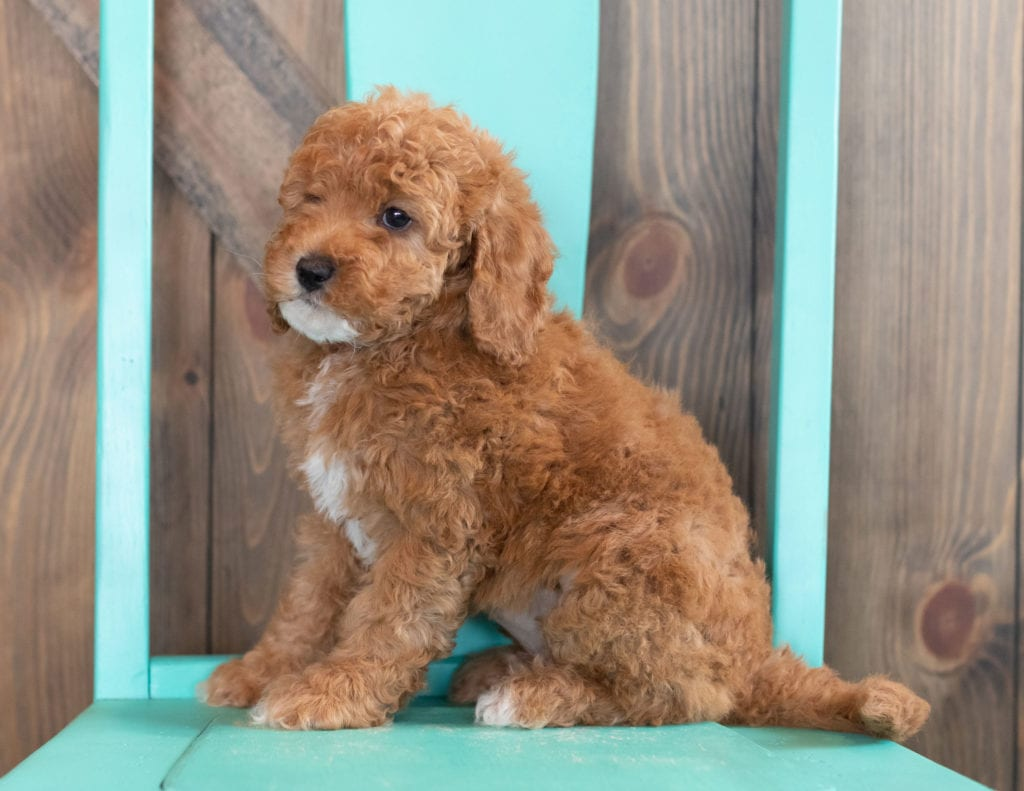 Winter is an F1BB Goldendoodle that should have  and is currently living in Nebraska