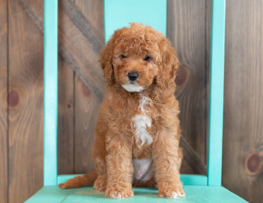 A picture of a Winter, one of our Mini Goldendoodles puppies that went to their home in Nebraska
