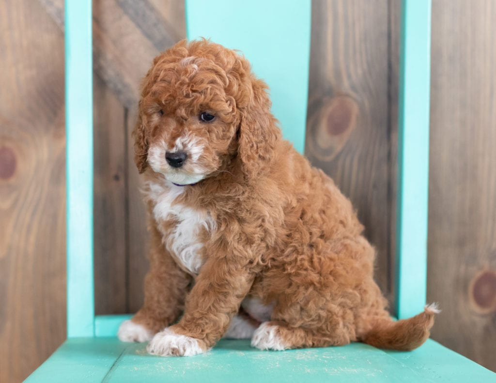 A picture of a Willa, one of our Mini Goldendoodles puppies that went to their home in Texas