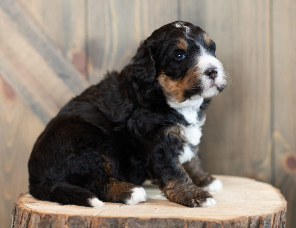 """Al is an F1 Bernedoodle that will be hypoallergenic. Read more about what a dog being hypoallergenic means on our latest blog post, """"The New Breed Everyone Seems to Want"""""""