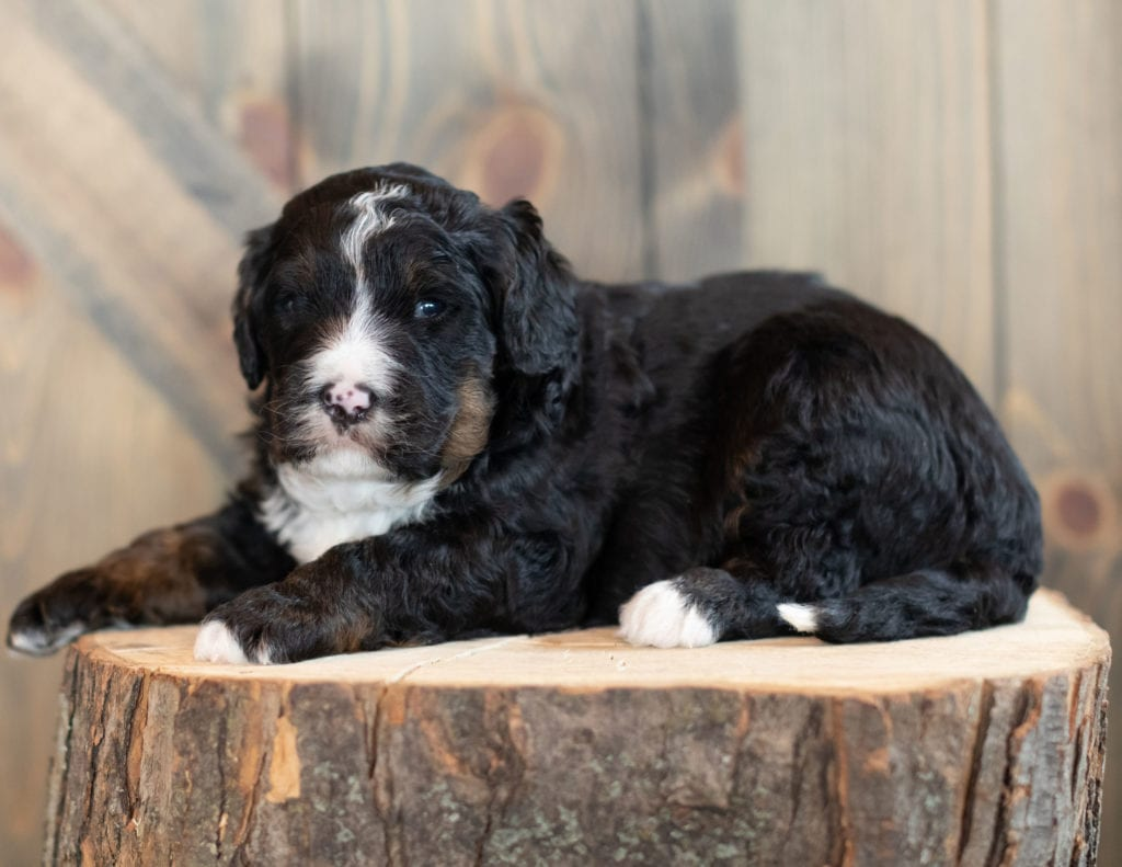 """Ace is an F1 Bernedoodle that will be hypoallergenic. Read more about what a dog being hypoallergenic means on our latest blog post, """"The New Breed Everyone Seems to Want"""""""