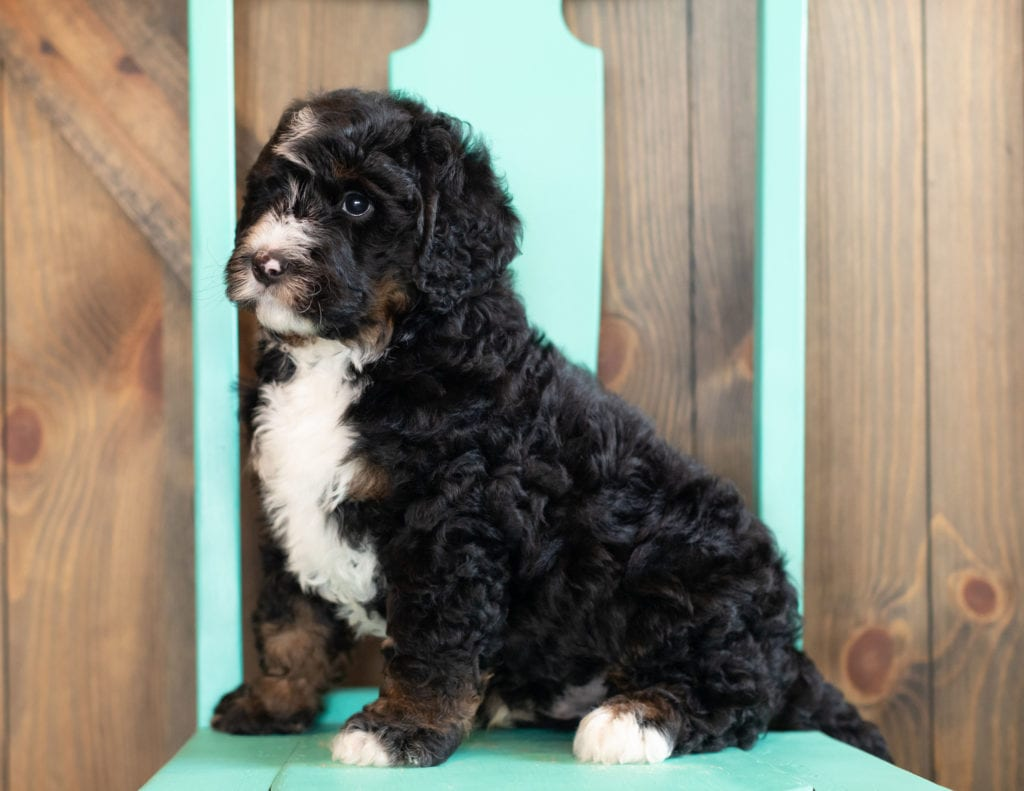 Ace is an F1 Bernedoodle that should have  and is currently living in Massachusetts