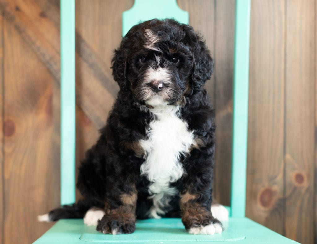 A picture of a Ace, one of our Standard Bernedoodles puppies that went to their home in Massachusetts