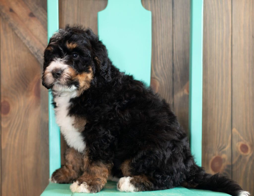 Al is an F1 Bernedoodle that should have  and is currently living in Nebraska