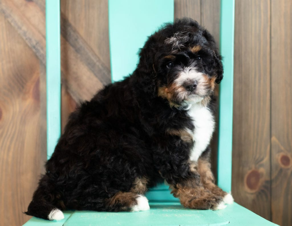 Al came from Kiaya and Floki's litter of F1 Bernedoodles