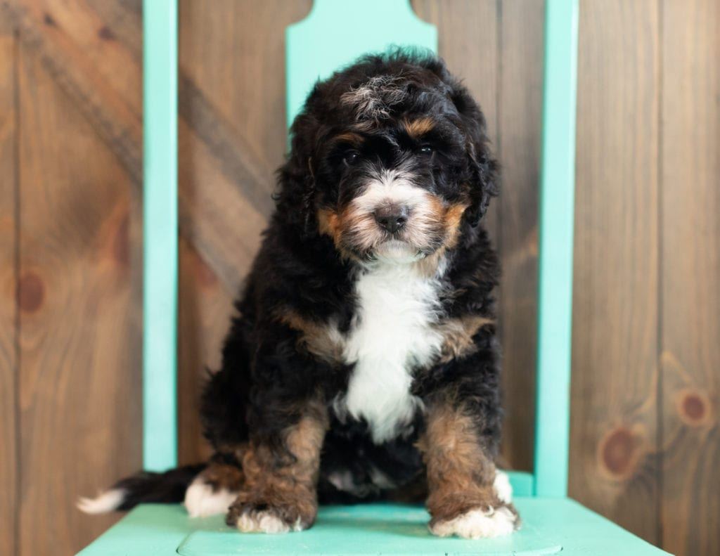 A picture of a Al, one of our Standard Bernedoodles puppies that went to their home in Nebraska