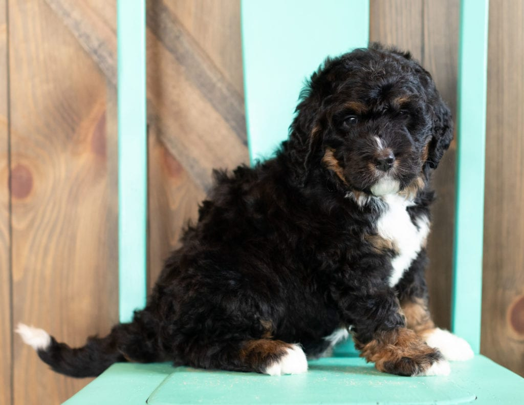 Anita is an F1 Bernedoodle that should have  and is currently living in Iowa