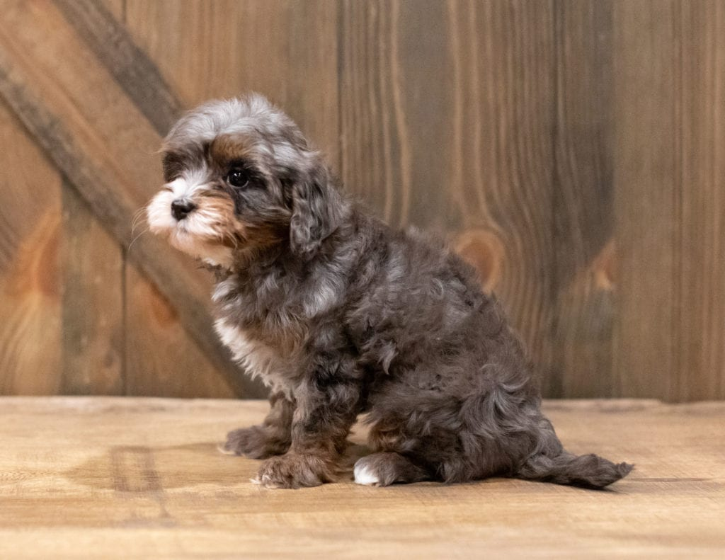 Chloe came from Cali and Ozzy's litter of F1B Cavapoos