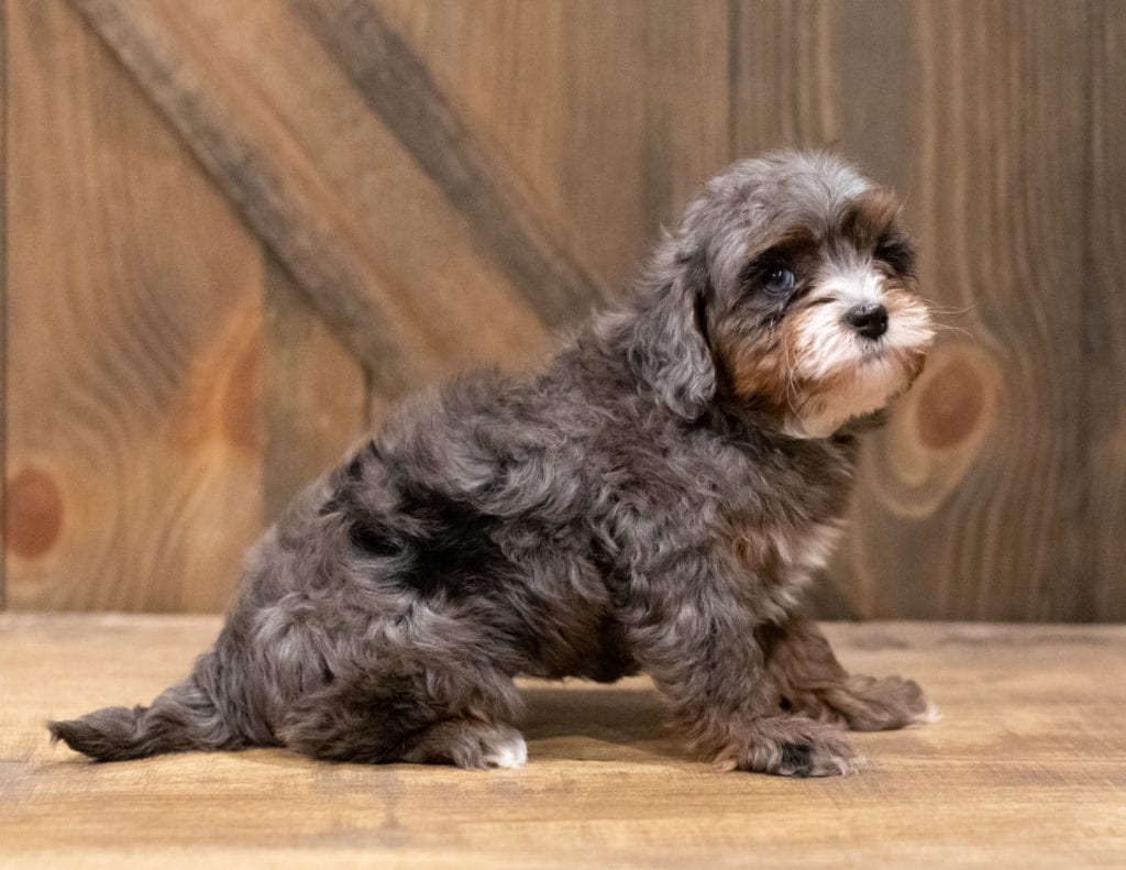 A picture of a Chloe, one of our Petite Cavapoos puppies that went to their home in Arizona