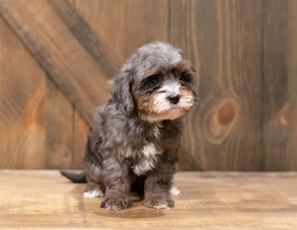 Chloe is an F1B Cavapoo that should have  and is currently living in Arizona