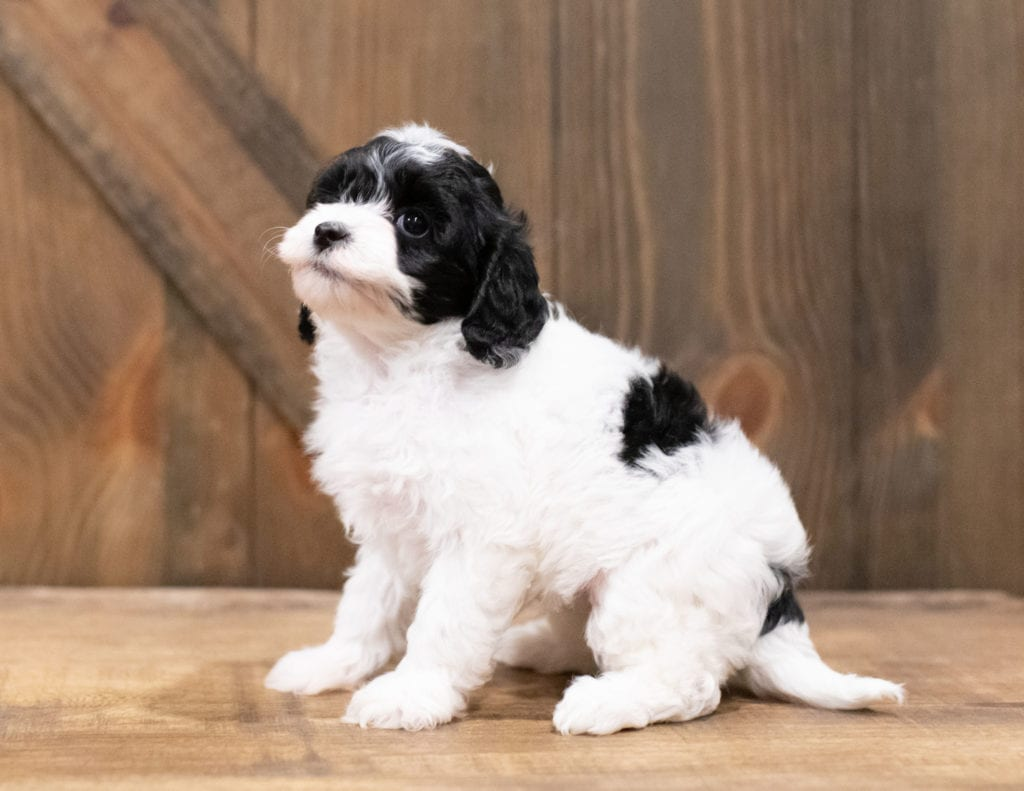 Clara came from Cali and Ozzy's litter of F1B Cavapoos
