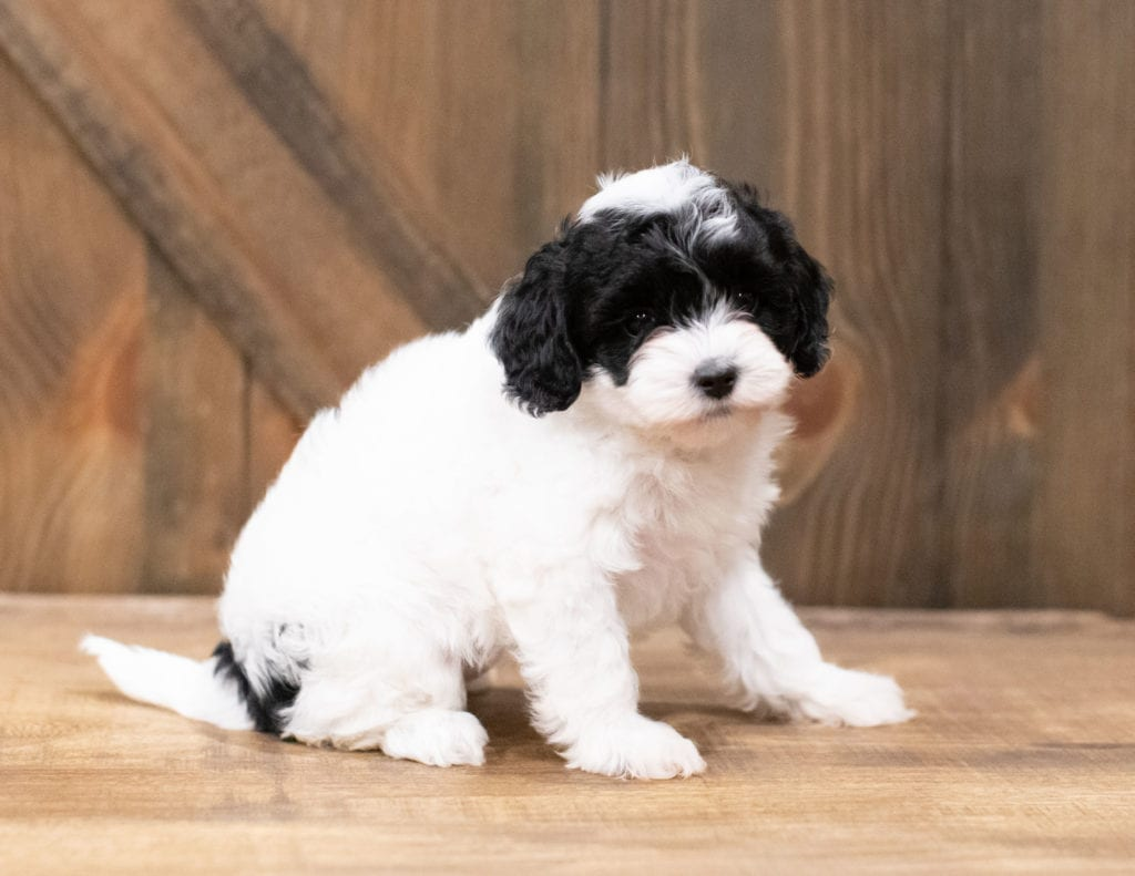 Clara is an F1B Cavapoo that should have  and is currently living in Tennessee