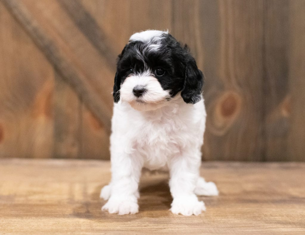 A picture of a Clara, one of our Petite Cavapoos puppies that went to their home in Tennessee