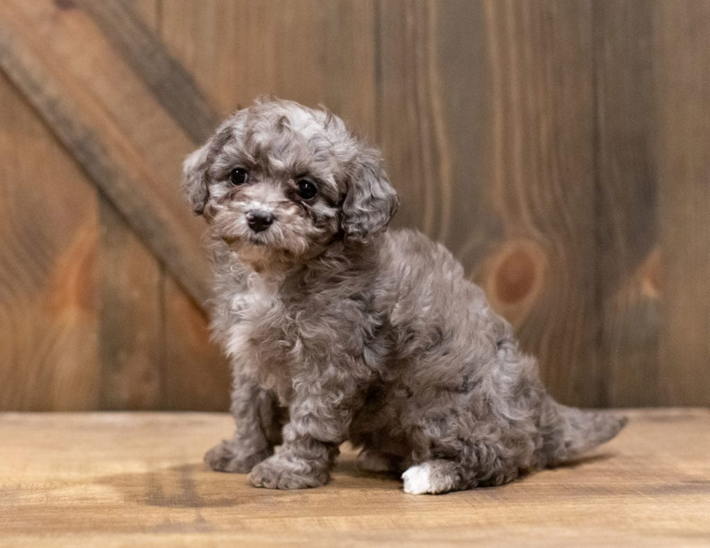 A picture of a Coffee, one of our Petite Cavapoos for sale