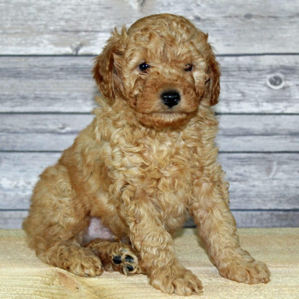 A great pic of cute Petite Irish Goldendoodles!