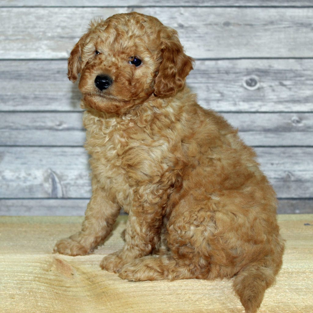 Yoyo is an F2B Irish Goldendoodle that should have  and is currently living in Iowa