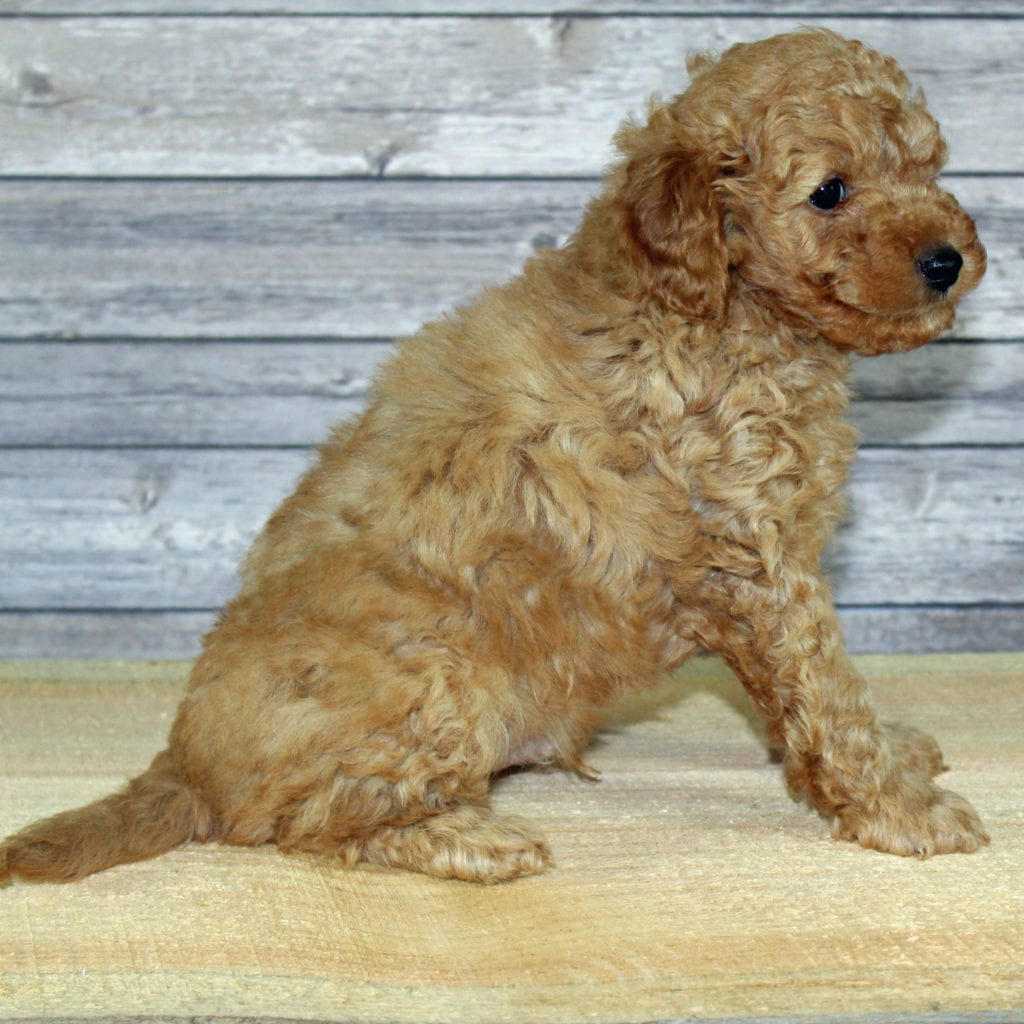 Yoyo came from Scarlett and Murphy's litter of F2B Irish Goldendoodles