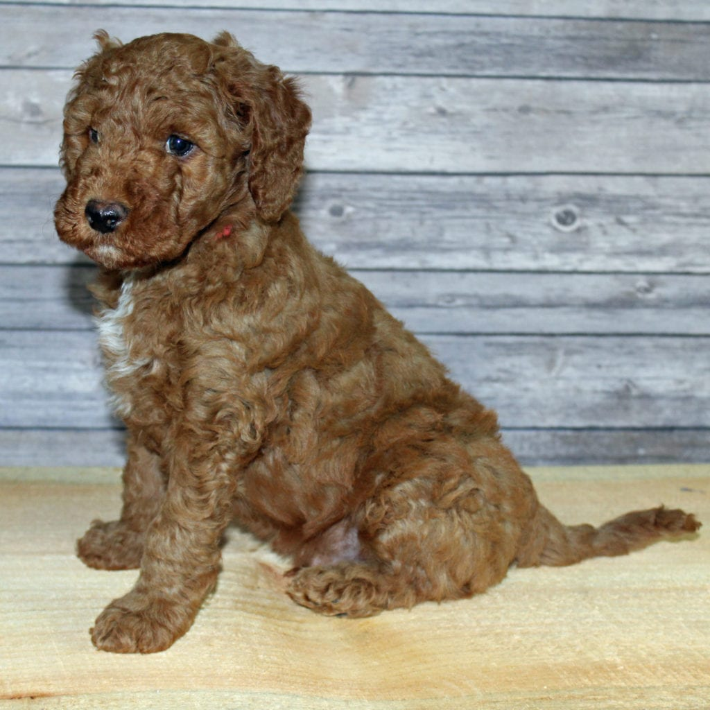 Yoshi is an F2B Irish Goldendoodle that should have  and is currently living in Texas