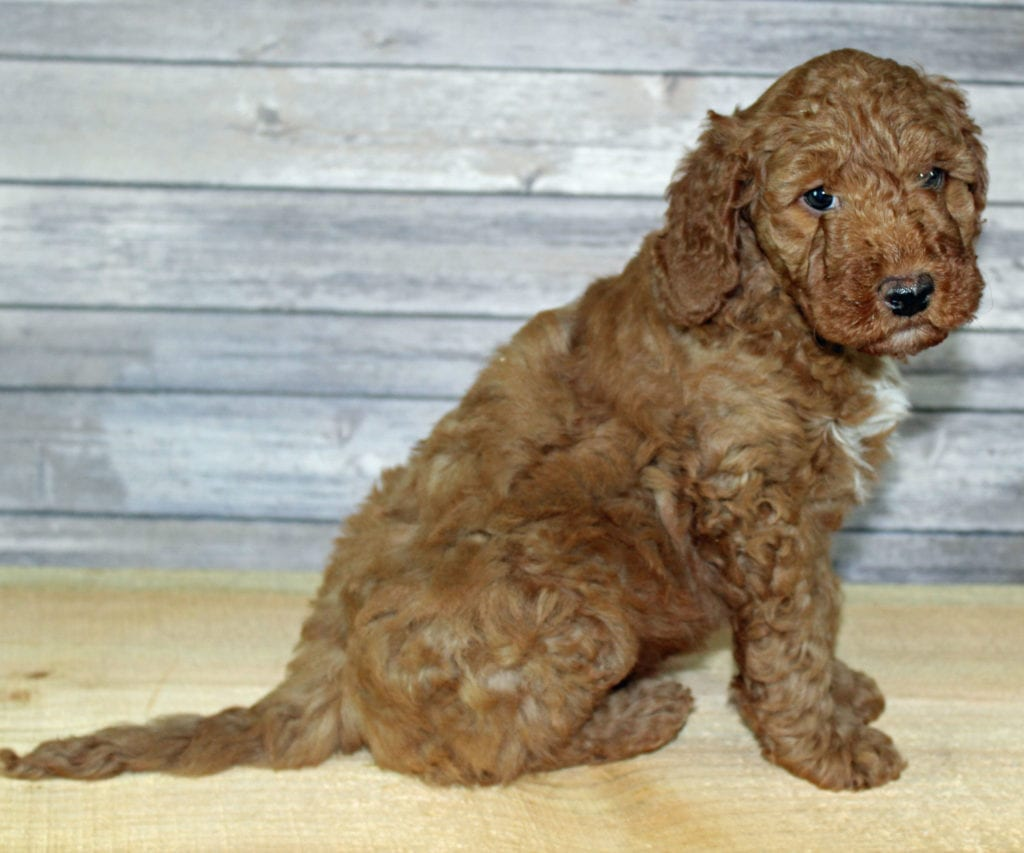 Yoshi came from Scarlett and Murphy's litter of F2B Irish Goldendoodles