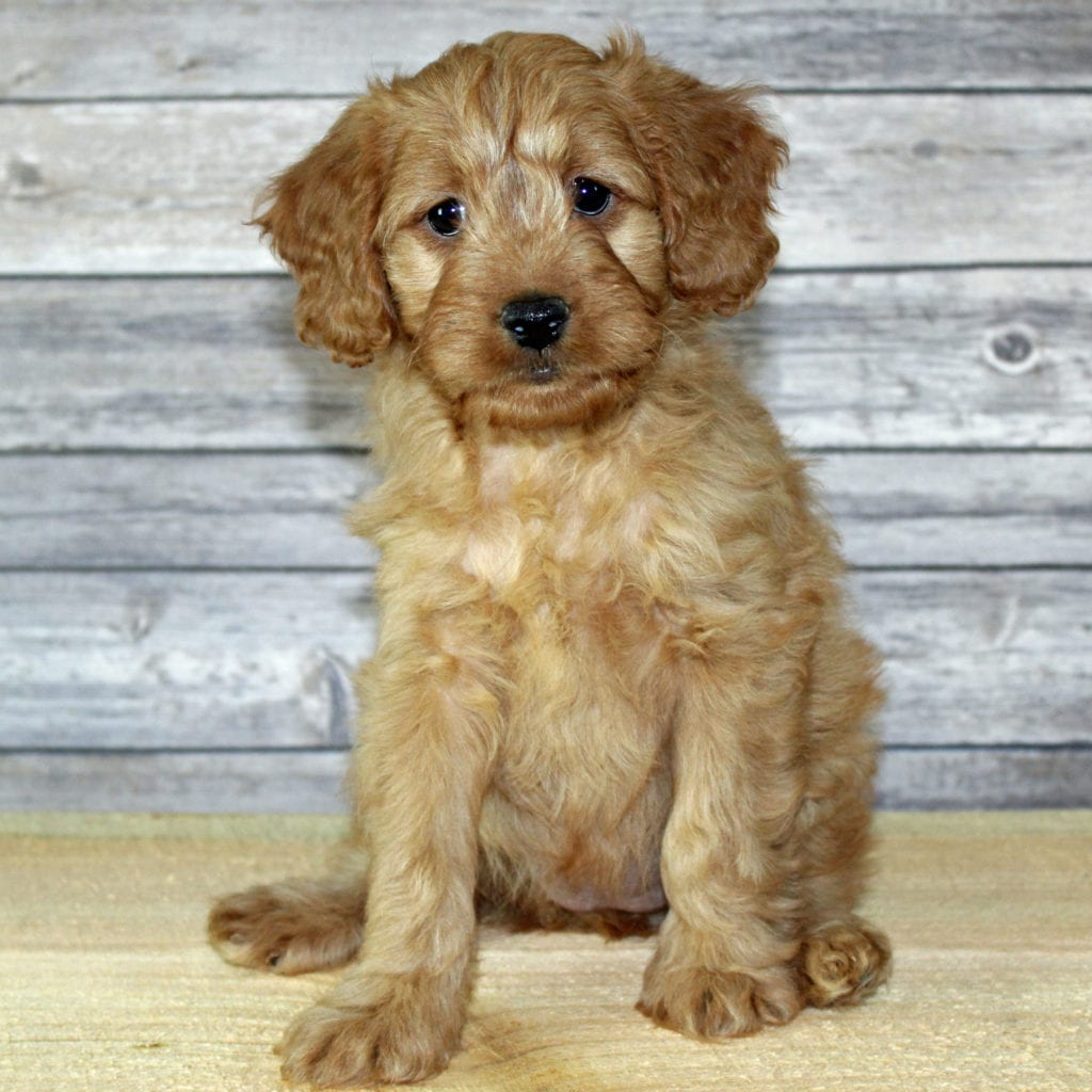 A picture of a Yuki, one of our Petite Irish Goldendoodles puppies that went to their home in Missouri