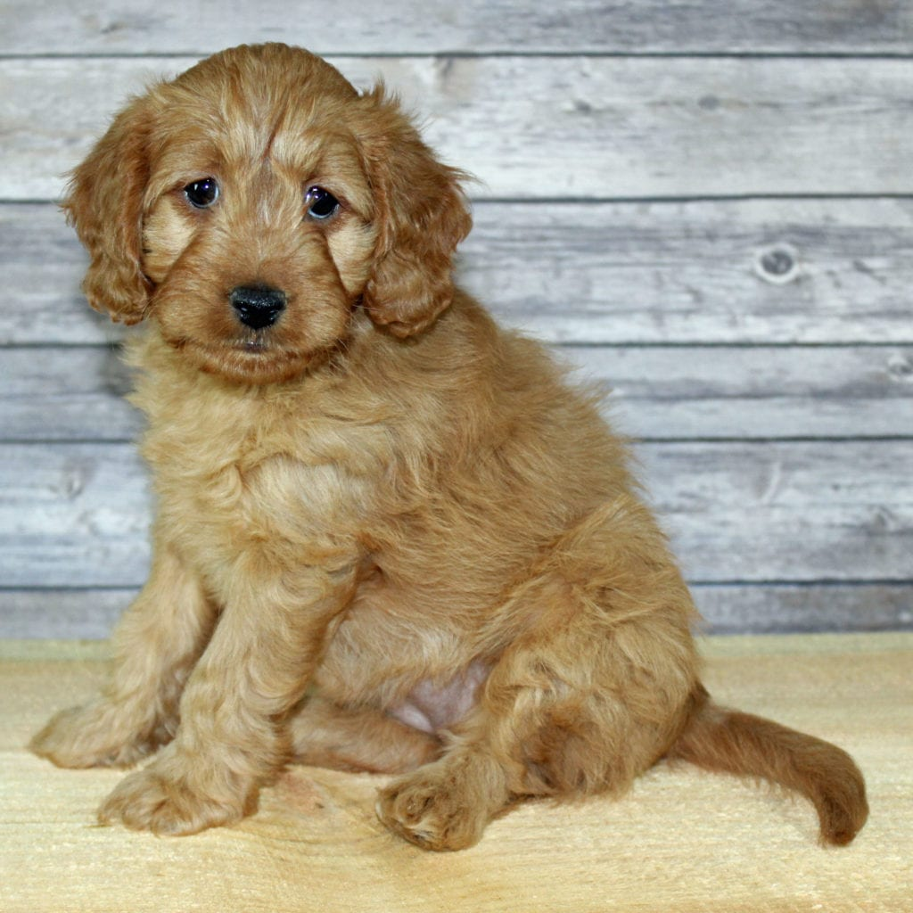 Yuki came from Scarlett and Murphy's litter of F2B Irish Goldendoodles