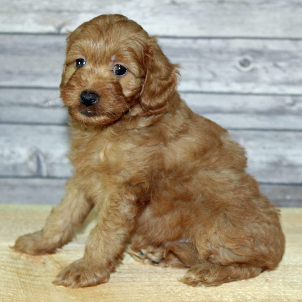 Yzma came from Scarlett and Murphy's litter of F2B Irish Goldendoodles