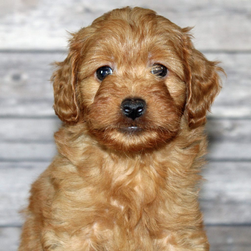 A picture of a Yzma, one of our Petite Irish Goldendoodles puppies that went to their home in Illinois